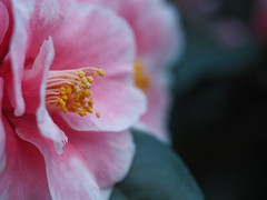 Camellia (Łukasz Rawa) Tags: camellia flowers flower flowerscolors macro micro43 closeup pink nature naturephotography plants olympus omd calm bokeh depthoffield detail garden art