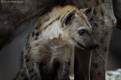 A safe haven (leendert3) Tags: leonmolenaar southafrica krugernationalpark wildlife nature mammals hyena ngc npc