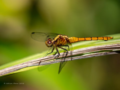 Dragon Fly-1214342 (Life is so Short) Tags: flight wetlands dragonfly fauna