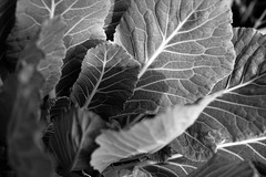 Cabbage in mono (Twila1313) Tags: cabbage plant veins leaves garden vegetable growth edible monochrome blackandwhite blackwhite bw sonya7ii minoltamd50mmf2