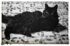 Old Girl (timvandenhoek1) Tags: sony2870mmf3556feoss sonyilce6000 blackcat blackandwhite missouri midwest snapseed doubleweddingringquilt animal timvandenhoek
