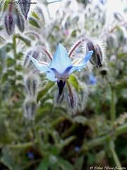 Seule (Céline Bizot-Zanatta Photographie) Tags: végétaux fleur eté journée extérieur macro focus closeup bourrache blue bleu flower pétale feuillage feuille