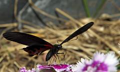 Großer Mormone / great Mormon (Papilio memnon) (uwe125) Tags: tier insekt schmetterling animal insect butterfly kleiner small blüte nektar nectar blossom nepal mormone groser blume macromarvels specinsect