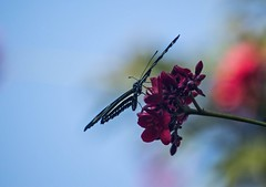 Thru A Foggy Lens (ACEZandEIGHTZ) Tags: butterfly condensation lens nikon d3200 zebra longwing winged flying charithonia heliconius bokeh flowers red natureinfocusgroup