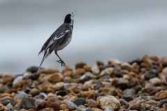 Flycatcher! (Explored) (Robin M Morrison) Tags: piedwagtail catching fly stone beach lymeregis