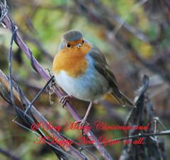 Merry Christmas all (Halliwell_Michael ## Offline mostlyl ##) Tags: brighouse cromwellbottom westyorkshire nikond40x 2018 calderhebblecanal towpath robin christmas birds saariysqualitypictures