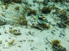 Baliste picasso/Rhinecanthus aculeatus (paspeya007) Tags: archipel archipelago arrivéepaisible atoll corail frenchpolynesia lagon lagoon pacific pacifique palisser paradis paradise plage plongéetuba polynesia polynésie polynésiefrancaise sablerose snorkeling tahiti tikehau tuamotu polynésiefrançaise pf