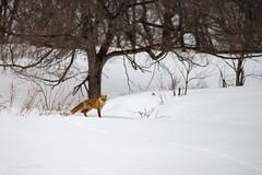 Wary (Ross Forsyth - tigerfastimagery) Tags: mammal wildlife wild nature free fox fur snow trees hokkaido islandofhokkaido japan