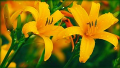 """ Summertime Twins "" (Darrell Colby "" You Call The Shots "") Tags: summer summertime twin twins floral flower flowers lily lilies yellow londonontario darrellcolby"