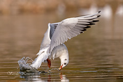 Chroicocephalus ridibundus, Καστανοκέφαλος Γλάρος, Black-headed Gull (belas62) Tags: bif gull ngc bird lake park γλάροσ greece