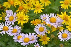 Snowy Range Wildflowers (NaturalLight) Tags: snowyrange wyoming alpine wildflowers