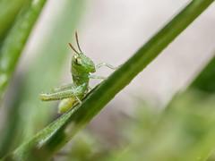 Pequeño saltamontes... (Jesús Emilio Monje) Tags: grasshopper saltamontes insectos insects macro naturaleza nature