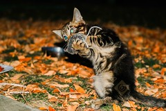 This Cool Cat Is Really Good On The Mouse Harmonica. (RS2Photography) Tags: flickr happy life colour colors naturephotography kittycat new food yellow leaves light orange eos nice mice outside animalplanet eating funny canonusa canon80d canon rs2photography pet natur nature mouse flash night cute kitten cat