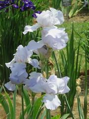 Irises 1 (D. S. Hałas) Tags: halas hałas canada ontario haltonregion wentworthcounty burlington aldershot royalbotanicalgardens botanicalgarden lakinggarden magnoliophyta liliopsida asparagales iridaceae iris flower