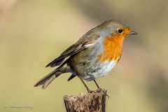 Robin 02-Feb-19 M__001 (gomo.images) Tags: 2019 bird country fife mortonlochs nature robin scotland years