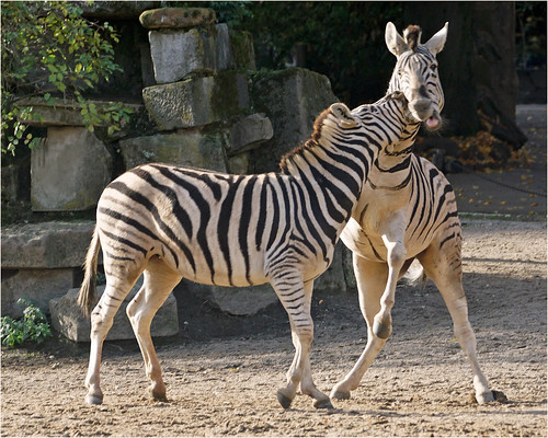 Playing young zebras