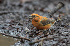 Crossbill  M (drbut) Tags: crossbill loxiacurvirostra pinetrees pinecones firtrees farmland forest avian bird birds wildlife nature canonef500f4lisusm