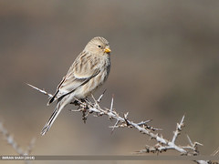 Twite (Carduelis flavirostris) (gilgit2) Tags: avifauna birds borit canon canoneos7dmarkii category fauna feathers geotagged gilgitbaltistan gojal imranshah location pakistan species tags tamron tamronsp150600mmf563divcusd twitecarduelisflavirostris wildlife wings gilgit2 carduelisflavirostris