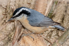 Red-breasted Nuthatch (tresed47) Tags: 2019 201901jan 20190112homebirdsbb backbuttonfocus birds canon7dmkii chestercounty content folder home january nuthatch pennsylvania peterscamera petersphotos places redbreastednuthatch season takenby technical us winter