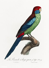 Broad-tailed parrot vintage poster