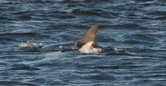 IMG_5517 (monika.carrie) Tags: monikacarrie wildlife scotland aberdeen dolphins dolphin cetacean mammals