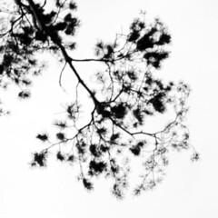 distant memory (PaulinaKozak) Tags: minimalism black white branch tree abstract pine nature