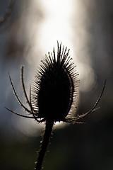 Against The Water (Hugobian) Tags: teasel teasle flora nature light sun frost ice backlight macro fairlands valley stevenage pentax k1 lake