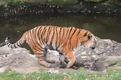 IMG_1495 (Simon M Hendry) Tags: yorkshirewildlifepark zoo england yorkshire wildlifepark animal mammal tiger bigcat amurtiger walking