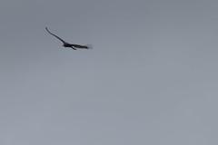 IMG_4445 (armadil) Tags: prairie ranchocorraldetierra bird birds vulture turkeyvulture flying