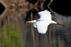 Great white egret in flight (adirondack_native) Tags: white legs black yellow flying wings spread