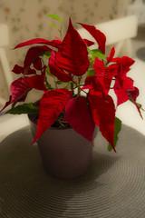 Still going strong (Rudi Pauwels) Tags: 2019onephotoeachday flower plant red closeup tamron 18270mm tamron18270mm nikon d7100 nikond7100 21365