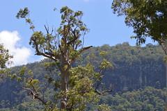 Old Australian Tree meets Ancient Cliffs (Urban and Nature OZ) Tags: eucalypt tree australia goldcoast trees eucalyptus cliffs clifface numinbahvalley valley nature naturephotography sky hinterland scenic scenery flora lamingtonnationalpark queensland qld