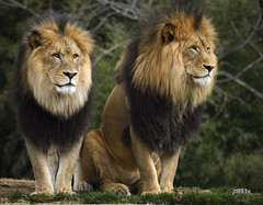 Lions (jt893x) Tags: 150600mm d500 jt893x lion male nikon nikond500 pantheraleo sigma sigma150600mmf563dgoshsms ngc alittlebeauty thesunshinegroup coth coth5 sunrays5