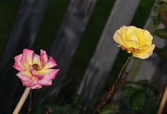 DSC_2209 (PeaTJay) Tags: nikond750 sigma reading lowerearley berkshire macro micro closeups gardens outdoors nature flora fauna plants flowers rose roses rosebuds