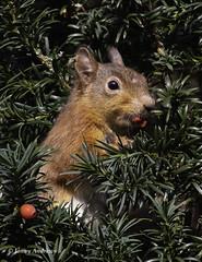 Red Squirrel in Yew Tree (jonny.andrews65) Tags: red squirrel yew tree mountstewart nationaltrust newtownards countydown northernireland nikon d7200 200500 vr