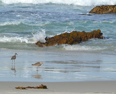 Birds on the beach (afagen) Tags: california pacificgrove asilomarstatebeach montereypeninsula asilomar beach pacificocean ocean bird