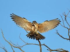 Kestrel landing with a lizard (charlescpan) Tags: