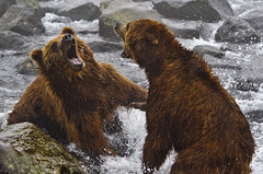 Heavyweigth fight (paolo_barbarini) Tags: bears orsi kamchatka russia fight lotta mammals mammiferi animals animali nature natura wildlife