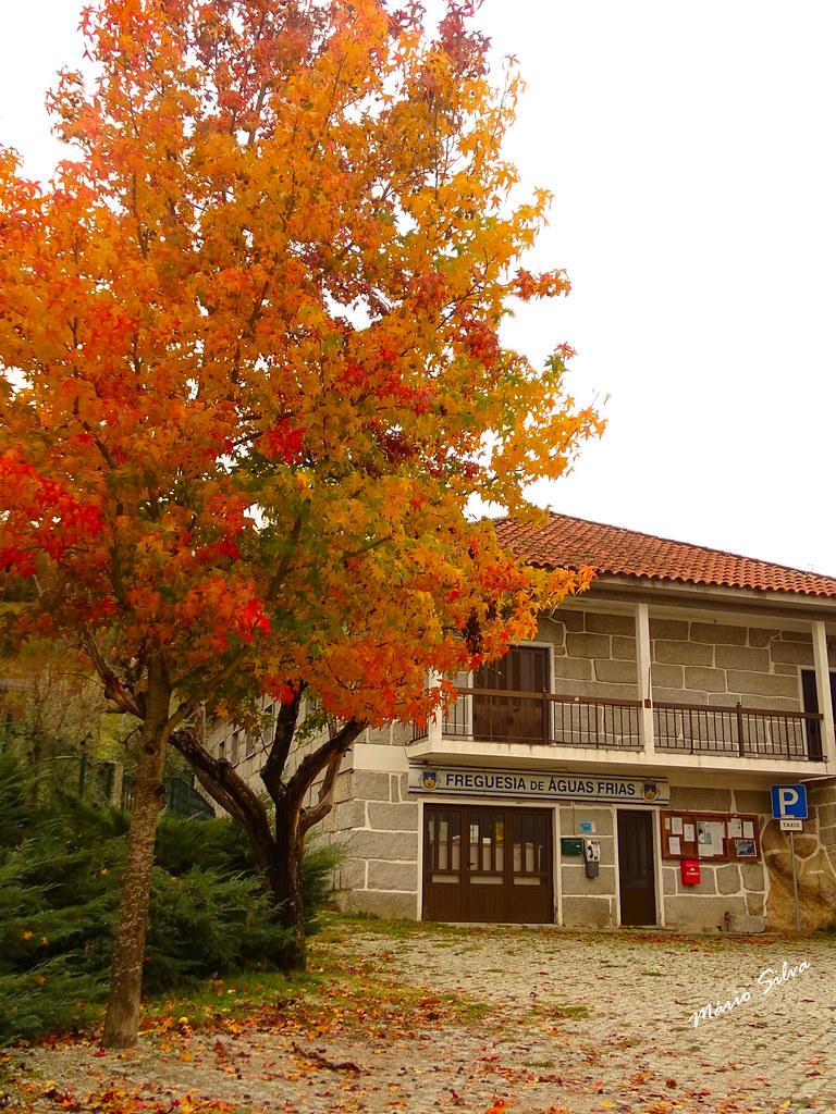 Águas Frias (Chaves) - ... edifício da junta de freguesia elegantemente egalanada com a explendorosa folhagem da árvore em tons outonais ...