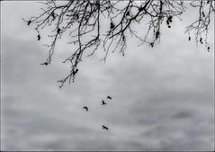 * (PattyK.) Tags: ioannina giannena giannina epirus ipiros greece grecia griechenland hellas ellada europe europeanunion snapseed nikond3100 monochrome 2018 birds tree ιωάννινα γιάννενα ήπειροσ ελλάδα βαλκάνια κλαδιά πουλιά ουρανόσ sky