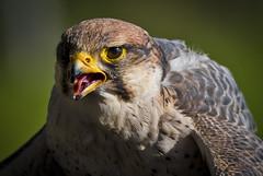 Falco biarmicus (SBA73) Tags: cimdàligues predator birdofprey bird vogel ocell au pájaro trainer falcó falcon halcón falcobiarmicus falcóllaner lannerfalcon malarstripe beautiful animal