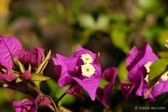 Bunter Muntermacher (Sockenhummel) Tags: blüten britzergarten