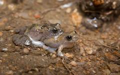 Desert Froglet (Crinia deserticola) (elliotbudd) Tags: elliot budd frog frogs qld queensland townsville charters towers crinia deserticola desert froglet amplexus