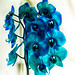Orquídea Phalaenopsis azul II