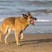 Brauner Hund am Sandstrand bringt roten Ball in der Schnauze zurück