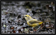 CROSSBILL ( f ) (PHOTOGRAPHY STARTS WITH P.H.) Tags: crossbill female forest dean nikon d500 500mm afs vr