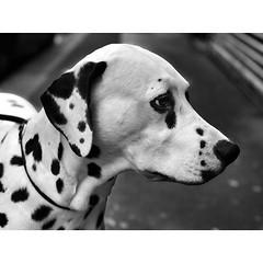 - Loneliness in dog's eyes - #dalmatian #dogsofinstagram #instadog #doglovers #dalmatian #monochrome #monochromatic #bw #bwphoto #bwphotography #bwonly #blackandwhite #blackandwhitephoto #blackandwhitephotography #blackandwhiteonly #blacknwhite #blacknwhi (quentinguignard) Tags: loneliness dog's eyes dalmatian dogsofinstagram instadog doglovers monochrome monochromatic bw bwphoto bwphotography bwonly blackandwhite blackandwhitephoto blackandwhitephotography blackandwhiteonly blacknwhite blacknwhitephoto blacknwhitephotography blacknwhiteonly bandw bwlover bwcrew bwsociety bwphotooftheday bnw bnwmood bnwstreet bnwlife bnwdrama bnwcaptures
