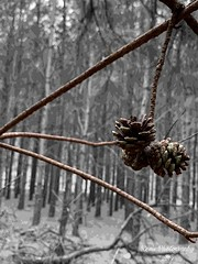 Winter Pinecones (MaryMRevis: Empress Of Explore) Tags: winter explore interesting discover marymrevis pinecones pinecone trees tree photography photo naturelovers naturephotography nature season seasons scenery scenes scene views view life