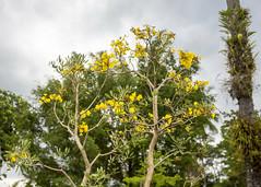 Borubudur (Hans van der Boom) Tags: vacation holiday asia indonesia indonesië java blooming tree yellow borubudur id