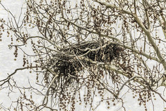 Big Girl Nest (p) (davidseibold) Tags: america benaroad birdnest california jfflickr kerncounty painting photosbydavid plant postedonfbpog postedonflickr sky tree unitedstates usa